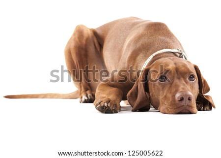 Tired dog. Young female Hungarian Vizsla laying on the ground looking tired and sad. - stock photo