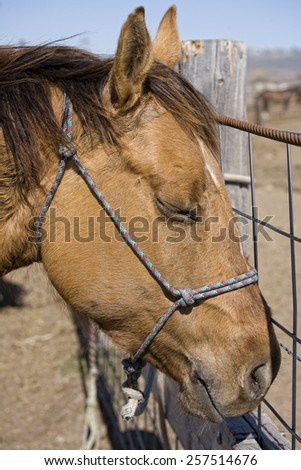 Tired dun quarter horse after day of working cows - stock photo