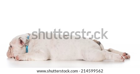 tired english bulldog puppy laying down stretched out on white background - stock photo