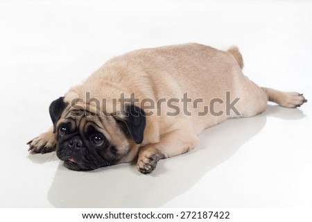 tired fat pug dog lying on the ground it looks a bit boxy - stock photo
