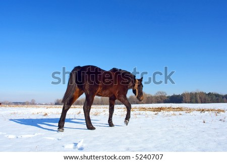 Tired horse walks across winter field. Shot in Poltavska region, Ukraine.