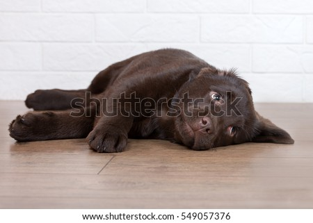 tired labrador puppy lying down on the floor
