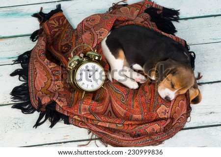 Tired little seven weeks old beagle puppy sleeping - stock photo