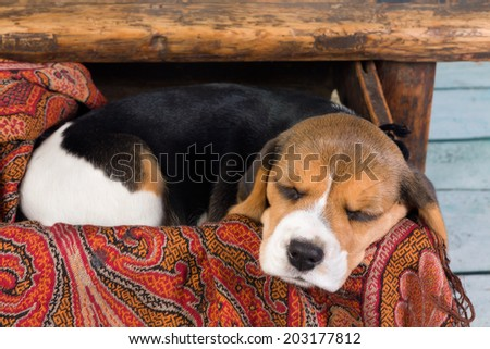 Tired little seven weeks old beagle puppy sleeping in a drawer - stock photo