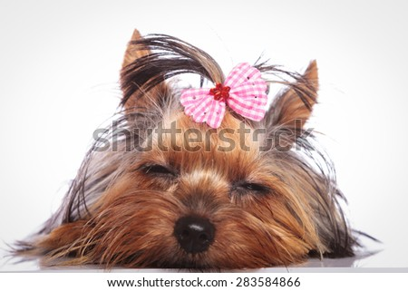 tired little yorkshire terrier puppy dog is sleeping on studio background - stock photo