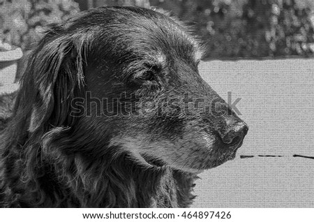 Tired Older Flat Coated Retriever Resting on the Patio Textured Black and White