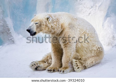 Tired polar bear sitting on the snow and yawning - stock photo