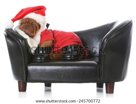 tired santa - dogue de bordeaux dressed up like santa on a couch - stock photo