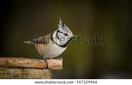 tit chickadee in forest - stock photo