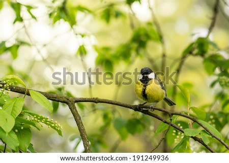 Tit on the tree branch with a spring background. - stock photo