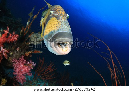 Titan Triggerfish - stock photo