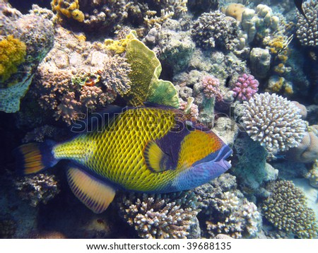 Titan triggerfish and coral - stock photo