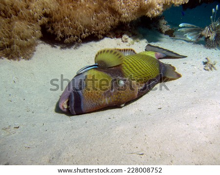Titan triggerifsh (Balistoides viridescens) getting a clean from a cleaner wrasse - stock photo