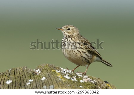 Titlark or meadow pipit - stock photo