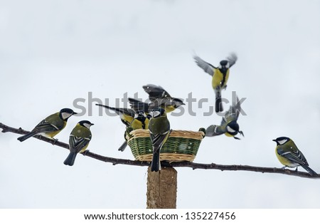 titmouse birds eating seed from bird feeder in winter - stock photo