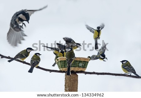 titmouse birds eating seed from bird feeder in winter time - stock photo