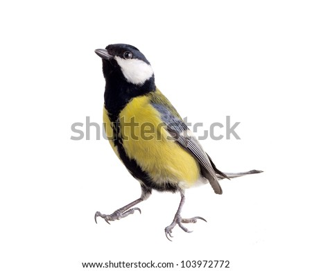 titmouse on a white background close up. spring. - stock photo