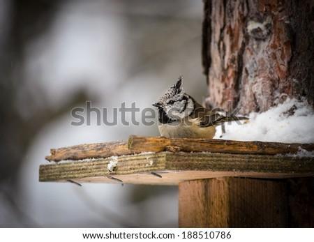 titmouse on the birdfeeder - stock photo