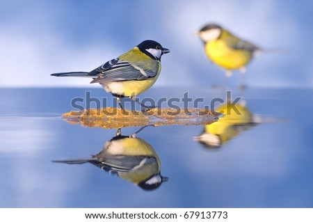 Tits perched on the water for drinking. - stock photo