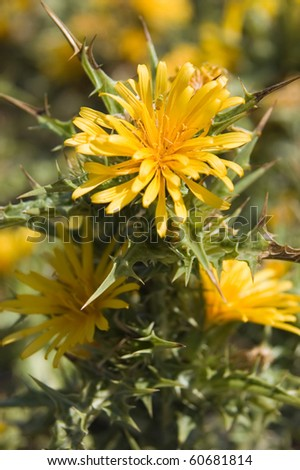 To yellow thistle blossom in the mediterranean climate