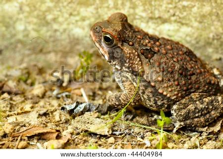 "Toad ""Bufo marinus"" - stock photo"