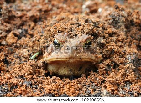 Toad burying itself - stock photo