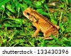 Toad - common cururu toad (bufo bufo) with rough skin sits on green grass. Bumps on its dry skin resemble warts, but actually secrete a bufotoxin that helps the animal escape its predators. - stock photo