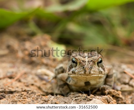 toad in natural habitat - stock photo