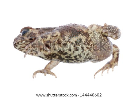 toad isolated on white - stock photo