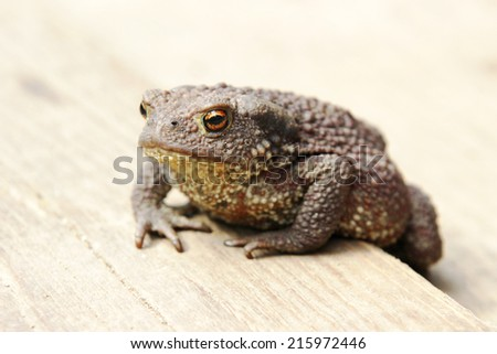 Toad on a wooden plank close up