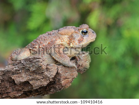 Toad on pride rock ready to jump - stock photo