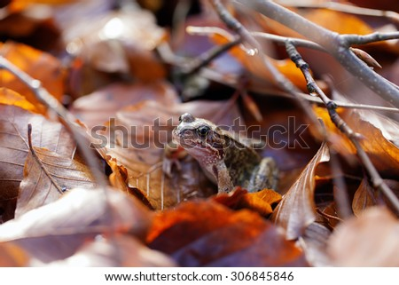 Toad traveling in the leaves - stock photo