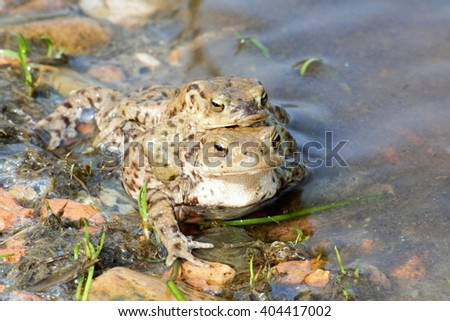 Toads - stock photo