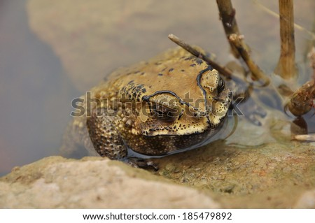 Toads are best known for their thick, warty skins. - stock photo
