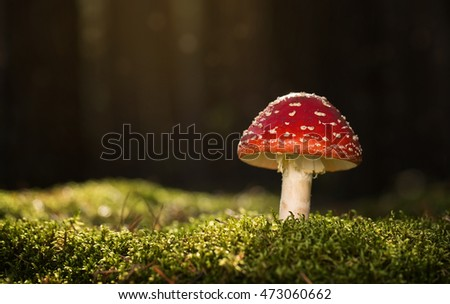 Toadstool, close up of a poisonous mushroom in the forest with copy space