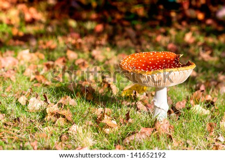 toadstool - fly agaric - red poisonous mushoom, shot from ground level - stock photo