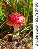 Toadstool (fly amanita) mushroom in the grass - stock photo