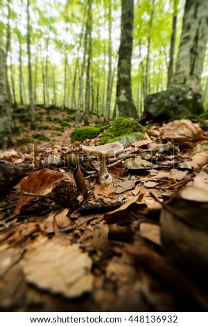 Toadstool growing in a beech forest - stock photo