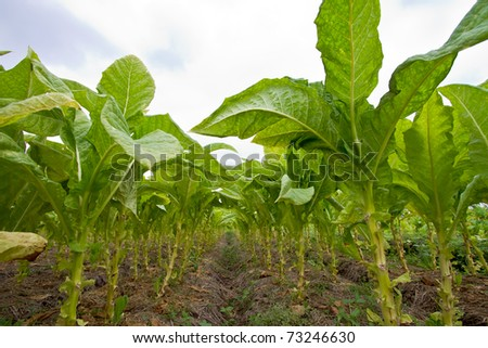 Tobacco agriculture in Thailand - stock photo