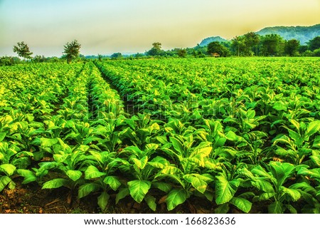 Tobacco farm in morning. HDR - stock photo