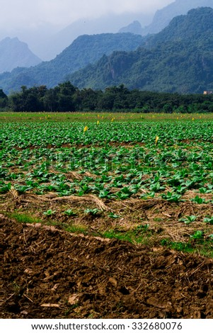 Tobacco farm, Young Tobacco plant in field, Farmer manure Tobacco plants - stock photo