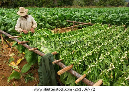 Tobacco farmers collect tobacco leaves - stock photo
