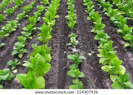 Tobacco field - stock photo