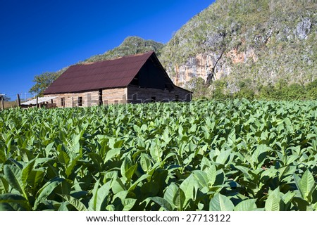 Tobacco field and drying house  in Vinales, Cuba - stock photo