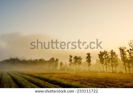 Tobacco field in the morning with fog - stock photo
