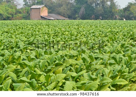 tobacco garden plant of thailand - stock photo