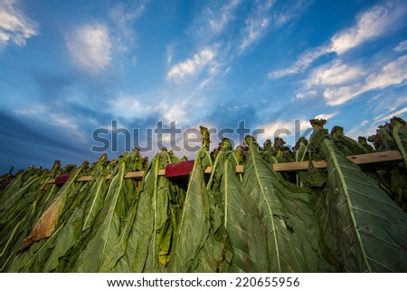 Tobacco hangs from racks on a wagon at sunset in rural Lancaster County Pennsylvania. - stock photo