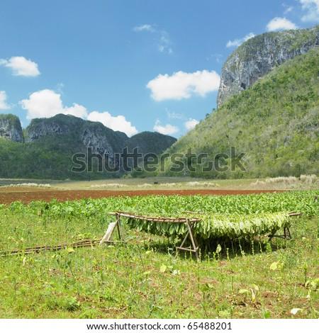 tobacco harvest, Vinales Valley, Pinar del Rio Province, Cuba - stock photo