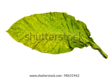 tobacco leaf from garden of thailand