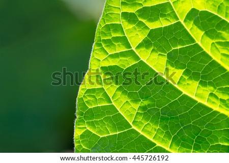 Tobacco leaf half  on blurred  sunny field background, Germany - stock photo